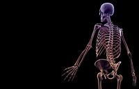 The bones of the upper body