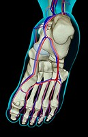 The blood supply of the foot