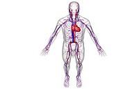The vascular system