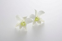 Two white orchids