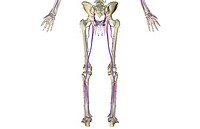The blood supply of the lower body