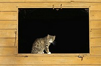 Domestic cat in window of a cowshed. Bavaria, Germany, Europe.