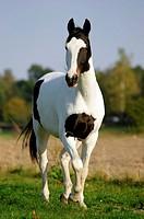 animal,horse,Pinto