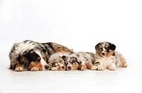 Australian Shepherd with three puppies