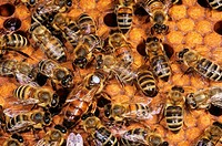 honey bees and queen - Apis mellifera