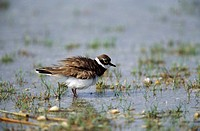 little ringed plover in water - shaking plumage