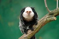 white-heade marmoset - Callithrix geoffroyi