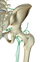 The lymph supply of the hip
