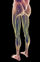 The muscles of the lower body