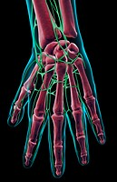 The lymph supply of the hand