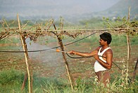 men sprinkling pesticides in grapes field , india