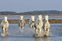Camargue horses. Saintes Maries de la Mer. Bouches du Rhone. Camargue. France.