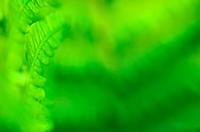 Hard Shield fern, Close-up