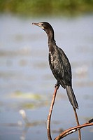 Little Cormorant, Phalacrocorax niger, at Backwater Cannal, Kerela