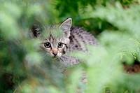 Felis silvestris, Common Wild Cat, Germany, captive, kitten,