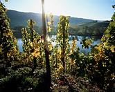 Wine-growing near Ürzig, Mosel-Saar-Ruwer, Germany