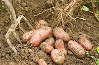 Potatoes, ´Roseval´ root of freshly dug potatoes, red skinned salad potato, England July