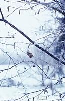Corylus avellana, Hazel / Cob-nut