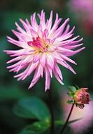 Dahlia 'Lilac Taratahi', Dahlia