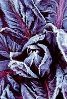 Cichorium intybus, Radicchio