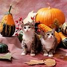 Domestic, Cats, and, pumpkins