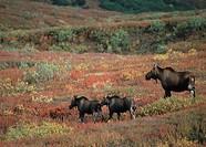 Moose, cow, with, calves, Denali, national, park, Alaska, USA, Alces, alces