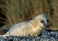 Grey, Seal, pup, Helgoland, Schleswig-Holstein, Germany, Halichoerus, grypus
