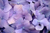 Close-up of Hydrangea Macrophylla  Hogsback, Eastern Cape Province, South Africa