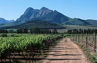Dirt Road Running Through Vineyard with Mountains in the Background  Paarl District, Boland, Western Cape Province, South Africa