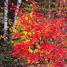 Vibrant Red and Yellow Autumn Leaves  Maine North Woods, Baxter State Park, Maine, United States of America