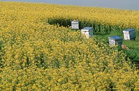 Four Beehives in a Canola Field  Tulbach, Northern Cape Province, South Africa