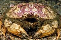Circular crab (Atelecyclus undecimdentatus). Galicia, Spain