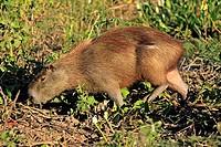 Capybara,Hydrochoerus hydrochaeris,Pantanal,Brazil,adult,feeding