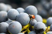 Ladybird on Cabernet Sauvignon grapes