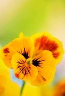 Yellow Pansy Flower. Viola x wittrockiana. May 2007, Maryland, USA