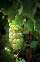 Chardonnay grapes