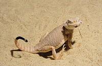 toad-headed lizards / Phrynocephalus mystaceus