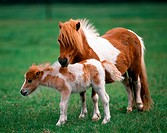 mini shetland pony with foal on meadow