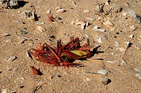 locusts at banana in sand