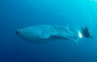 Whale shark and scuba diver, Rhincodon typus