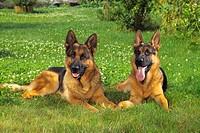 two German shepherds - lying on meadow