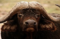 African buffalo - bull - portrait / Syncerus caffer