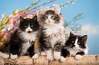 3 Norwegian forest kittens on a birch trunk