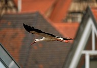 white stork flying / Ciconia ciconia