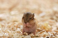 Campbell´s Dwarf hamster - cub / Phodopus campbelli restrictions:Tierratgeber-Bücher / animal guidebooks