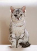 British Shorthair kitten - sitting restrictions:Tierratgeber-Bücher / animal guidebooks
