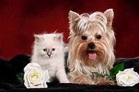 animal friendship : Yorkshire Terrier and Sacred cat of Burma kitten between flowers