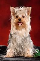 Yorkshire Terrier - sitting