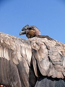 Young condor.