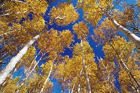 White birches, Great Lakes, Saint Lawrence Skead, Ontario, Canada